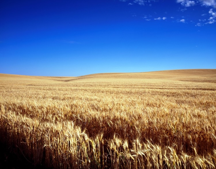 Colorado Wheat Fields.